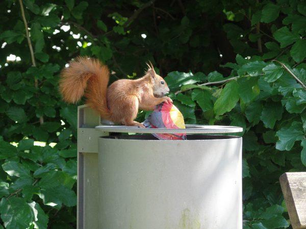 Eichhörnchen mit Deutschlandflagge